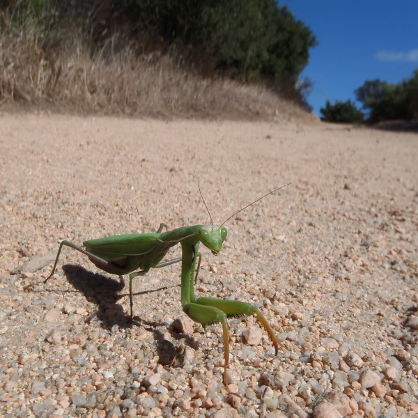 this funny insect was very aggressive and fearless. on our way to see dolmens. it is called praying mantis